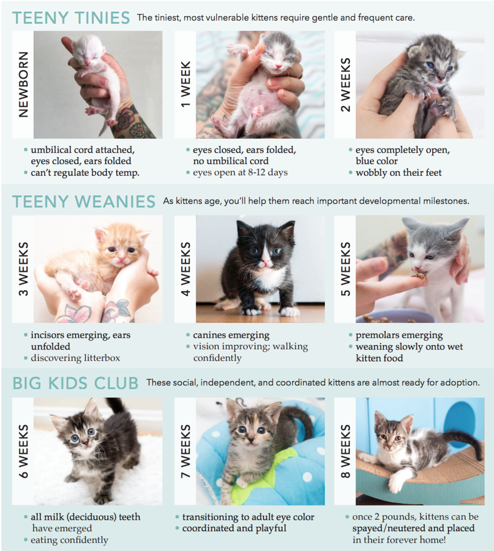 Kitten Feeding Growth And Development Colorado Animal Rescue